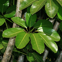 Tropical Foliage Plants - Schefflera actinophylla – Octopus Tree