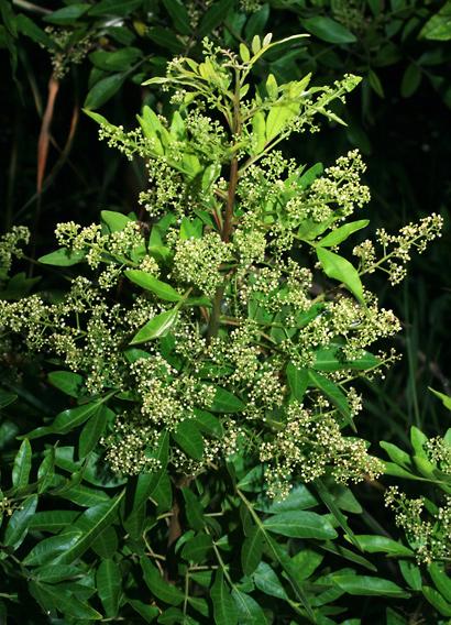 Schinus terebinthifolius - Brazilian Peppertree, Christmas Berry, Brazilian Pepper, Brazilian Pepper-tree (flowers)