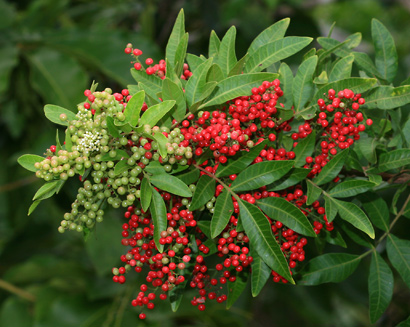 Schinus terebinthifolius - Brazilian Peppertree, Christmas Berry ...