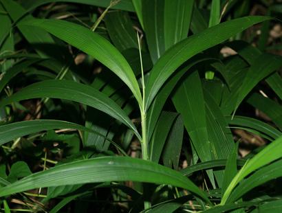 Setaria palmifolia - Palmgrass, Palm Grass, Broadleaved Bristlegrass, Hailans Pitpit, Short Pitpit, Highland Pitpit