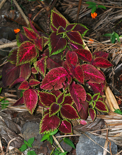 Solenostemon scutellarioides - Coleus, Common Coleus, Painted Nettle