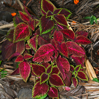 Tropical Foliage Plants - Solenostemon scutellarioides – Coleus