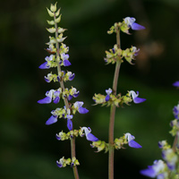 Purple and Blue Hawaiian Flowers - Solenostemon scutellarioides – Coleus