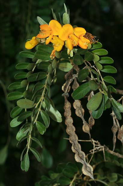 Sophora chrysophylla - Mamane, Mamani