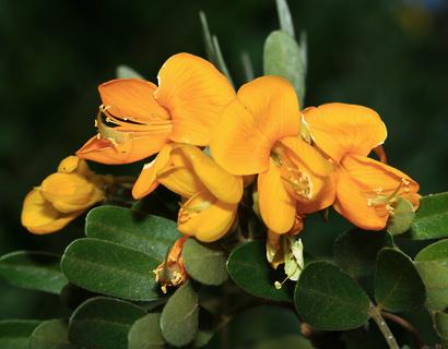 Sophora chrysophylla - Mamane, Mamani (flowers)