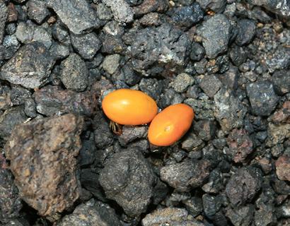 Sophora chrysophylla - Mamane, Mamani (seeds)