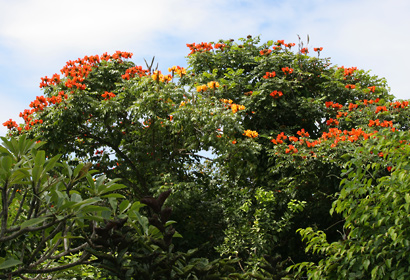 Spathodea campanulata - African Tulip Tree, African Tuliptree, Fireball, Fountain Tree, Flame of the Forest, Flame Tree