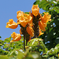 Orange Hawaiian Flowers - Spathodea campanulata – African Tulip Tree