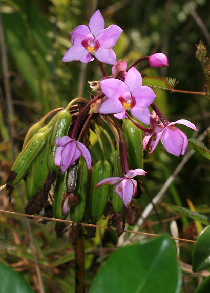 Spathoglottis plicata - Philippine Ground Orchid (flowers and unripe seed capsules)