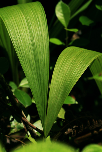 Spathoglottis plicata - Philippine Ground Orchid (leaves)