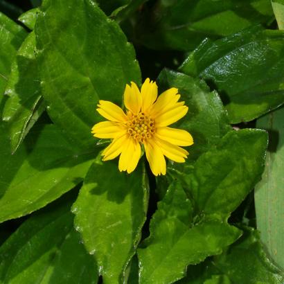 Sphagneticola trilobata - Wedelia, Bay Biscayne Creeping-oxeye, Creeping Ox-Eye, Creeping Daisy, Trailing Daisy, Singapore Daisy (flower)