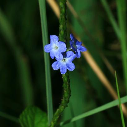Stachytarpheta sp. - Porterweed, Snakeweed, Velvetberry, Rat's Tail
