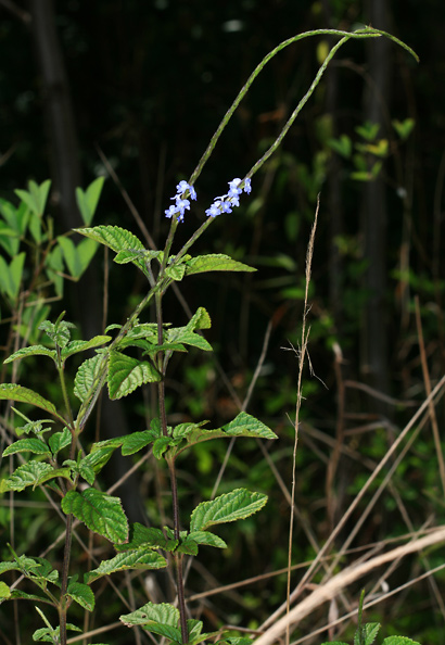 Stachytarpheta sp. - Porterweed, Snakeweed, Velvetberry, Rat's Tail