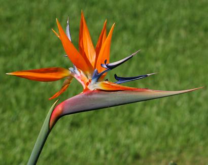 Strelitzia reginae - Bird of Paradise, Bird-of-paradise, Bird of Paradise Flower, Crane Flower, Crane Lily (flowers)