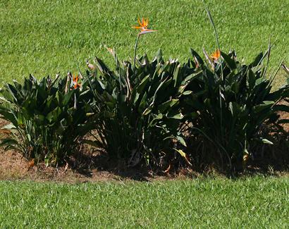 Strelitzia reginae - Bird of Paradise, Bird-of-paradise, Bird of Paradise Flower, Crane Flower, Crane Lily