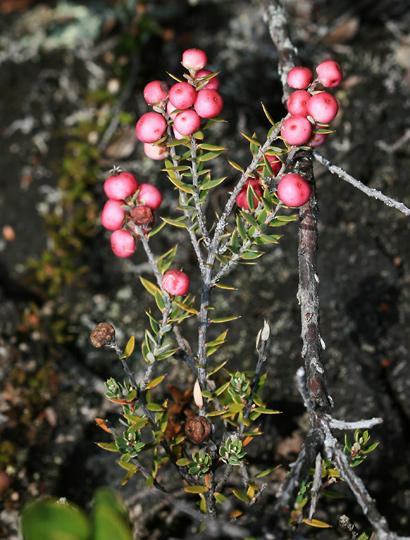 Styphelia tameiameiae - Pukiawe (pink berries)