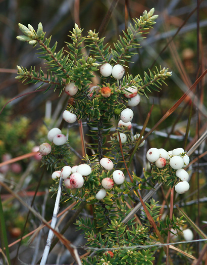 Styphelia tameiameiae - Pukiawe (white berries)