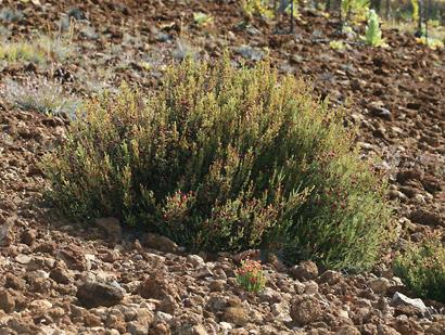 Styphelia tameiameiae - Pukiawe (alpine shrub)