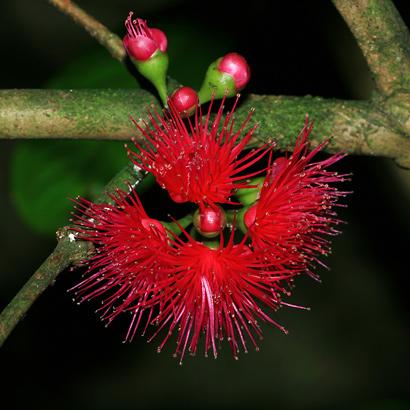 Syzygium malaccense - Mountain Apple, Malaysian Apple, 'Ohi'a 'Ai, Rose Apple, Malay Apple, Pomerac, Otaheite-apple (red flowers)