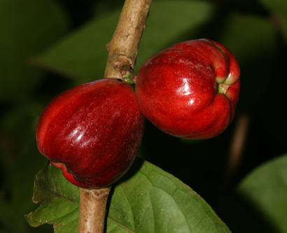 Syzygium malaccense - Mountain Apple, Malaysian Apple, 'Ohi'a 'Ai, Rose Apple, Malay Apple, Pomerac, Otaheite-apple (fruit)