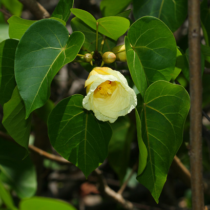 Thespesia populnea - Milo, Portia Tree, Pacific Rosewood, Seaside Mahoe, Indian Tulip Tree (yellow flower)