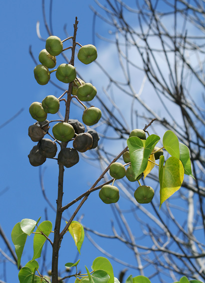 Thespesia populnea - Milo, Portia Tree, Pacific Rosewood, Seaside Mahoe, Indian Tulip Tree (fruit)