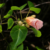 Pink Hawaiian Flowers - Thespesia populnea – Milo