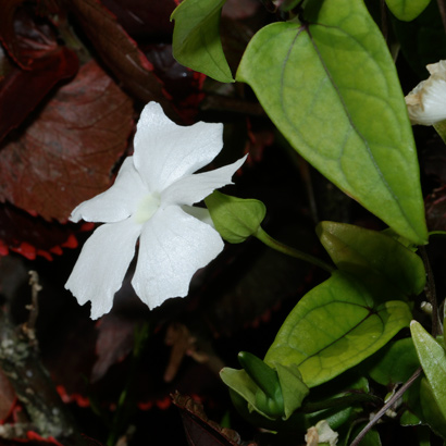 Thunbergia fragrans - White Lady, Whitelady, White Thunbergia, Sweet Clock-vine, White Clock-vine