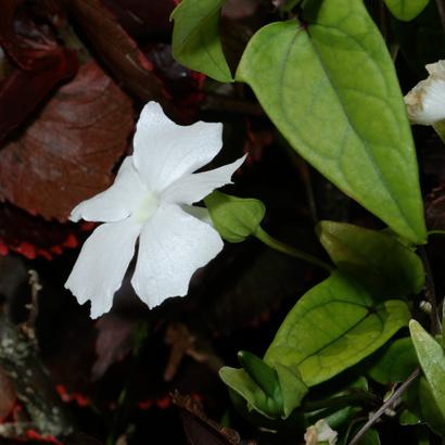 Thunbergia fragrans - White Lady, Whitelady, White Thunbergia, Sweet Clock-vine, White Clock-vine