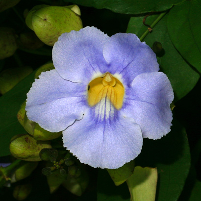 Thunbergia grandiflora - Bengal Trumpet, Bengal Clock Vine, Blue Trumpet Vine, Large-flowered Thunbergia (blue flower)