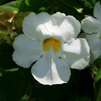 White Hawaiian Flowers - Thunbergia grandiflora – Bengal Trumpet