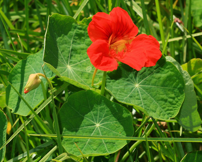 Tropaeolum majus nasturtium garden nasturtium for Landscaping plants pictures and names