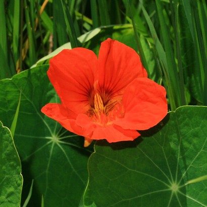 Tropaeolum majus - Nasturtium, Garden Nasturtium