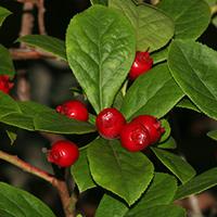Hawaiian Fruit or Cones - Vaccinium calycinum – Ohelo Kau La'au