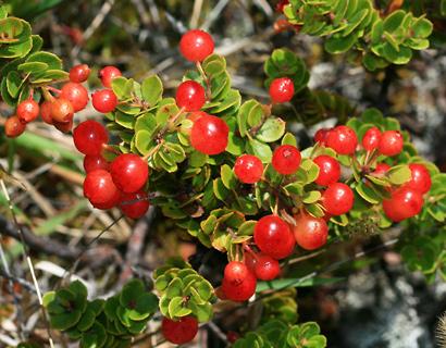Vaccinium reticulatum - Ohelo 'Ai, Hawaiian Blueberry