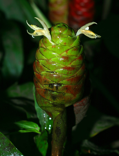 Zingiber zerumbet - Shampoo Ginger, Bitter Ginger, 'Awapuhi, 'Awapuhi kuahiwi, Pinecone Ginger, Wild Ginger (green flower)