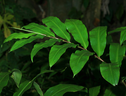 Zingiber zerumbet - Shampoo Ginger, Bitter Ginger, 'Awapuhi, 'Awapuhi kuahiwi, Pinecone Ginger, Wild Ginger (leaves)