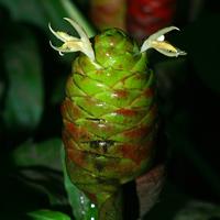 Green Hawaiian Flowers - Zingiber zerumbet – Shampoo Ginger