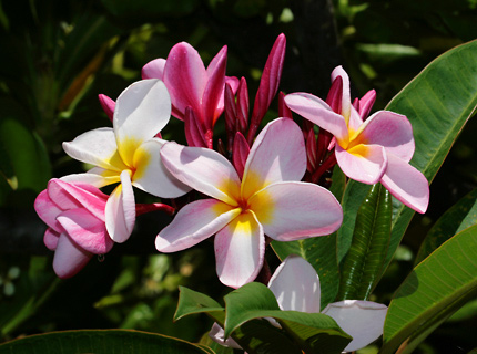 hawaiian plants and tropical flowers  a guide to the tropical, Beautiful flower